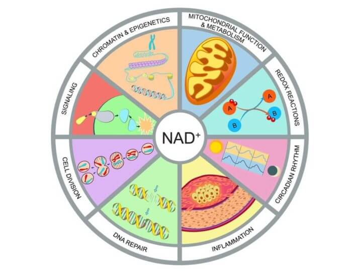 How do NAD+, NMN, and NR compare?